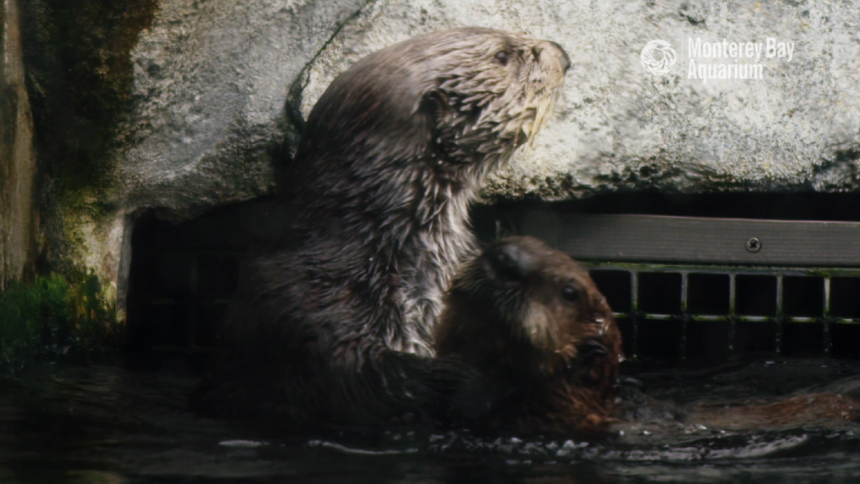 Watch: Monterey Bay Aquarium releases video of sea otter pups with their surrogate mothers - KION546