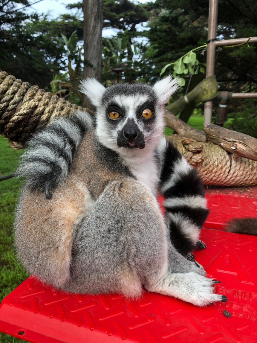 maki the lemur kpix