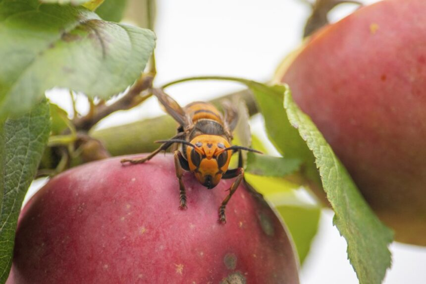 washington murder hornet