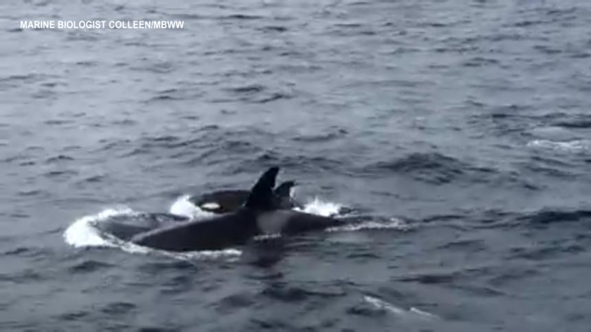 ORCA CALF WHALE WATCH STILL