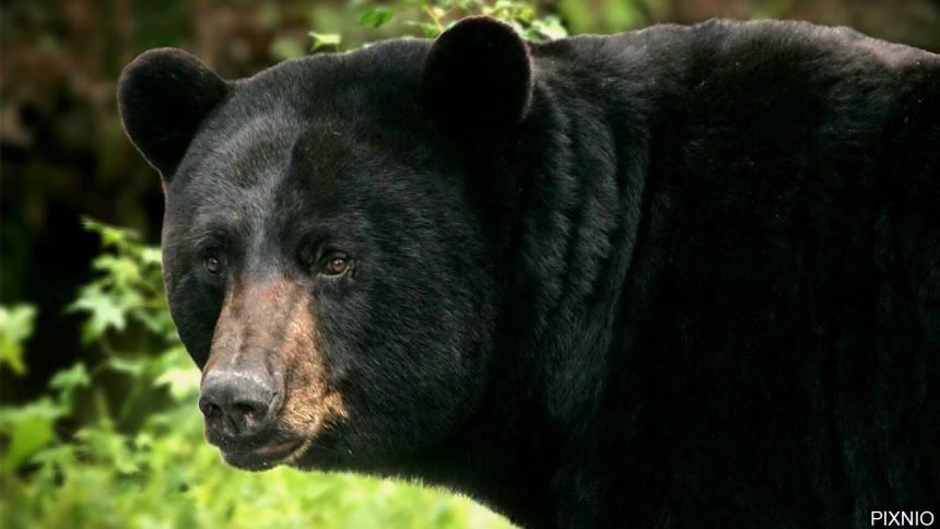 'Not normal behavior': Bears behaving oddly raising red flags about mystery disease
