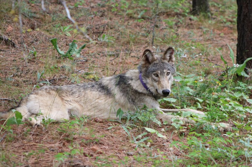 gray wolf department of fish and wildlife