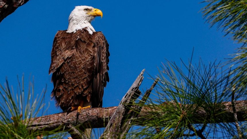 https___cdn.cnn_.com_cnnnext_dam_assets_210407165724-bald-eagle-florida