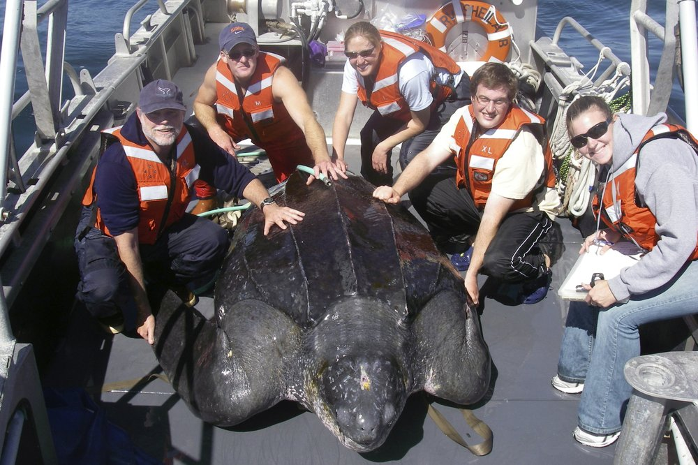 In this photo provided by Heather Harris, taken Sept. 25, 2007, in the waters off central California, scientists including Scott Benson, at far left, can be seen posing with a giant western Pacific leatherback sea turtle as they take measurements and attach a GOP satellite tracking device to its shell. All seven distinct populations of leatherbacks in the world are troubled, but a new study shows an 80% population drop in just 30 years for one extraordinary sub-group that migrates 7,000 miles across the Pacific Ocean to feed on jellyfish in cold waters off California. Scientists say international fishing and the harvest of eggs from nesting beaches in the western Pacific are to blame.