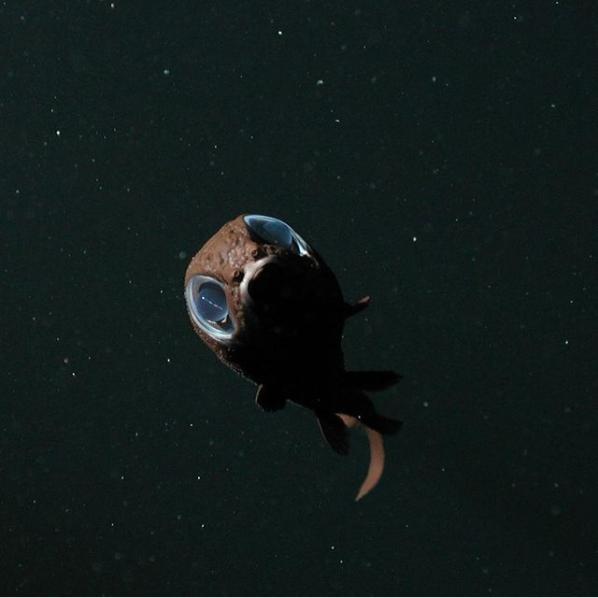 Owlfish in the Monterey Bay