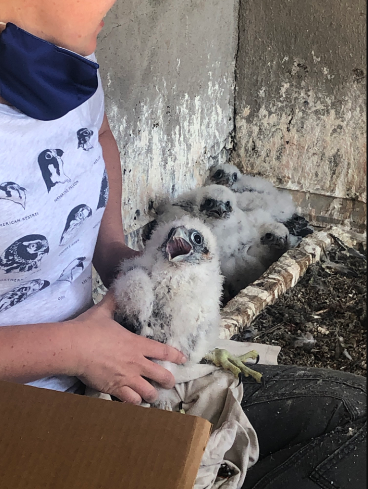 baby falcon 2