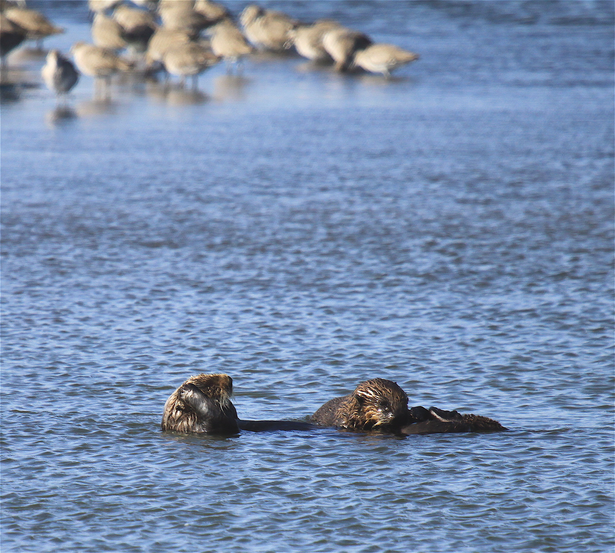 File- A mother otter and her pup in Moss Landing