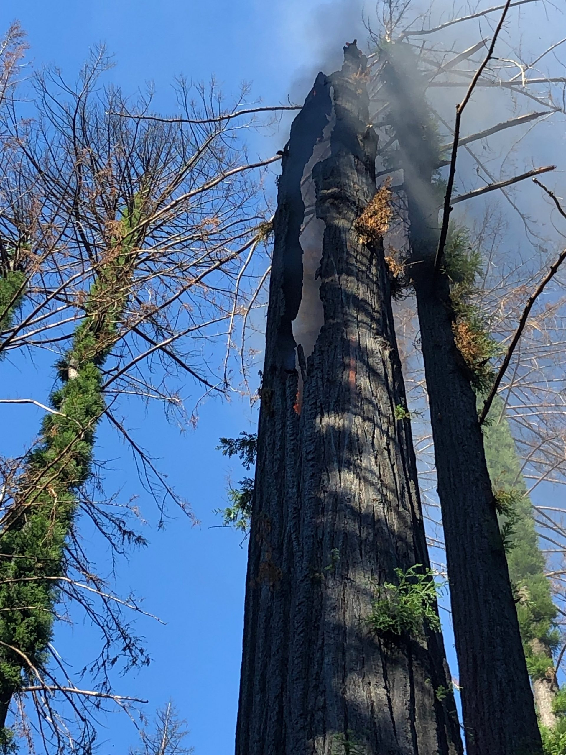 This tree in Big Basin Redwoods State Park was still smoldering from the #CZULightningComplex (10 months ago), but has been extinguished.
