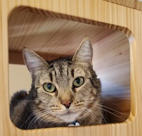 Pictured is Hobbes, one of the cats available at the SPCA.