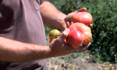 tomatoes and farming