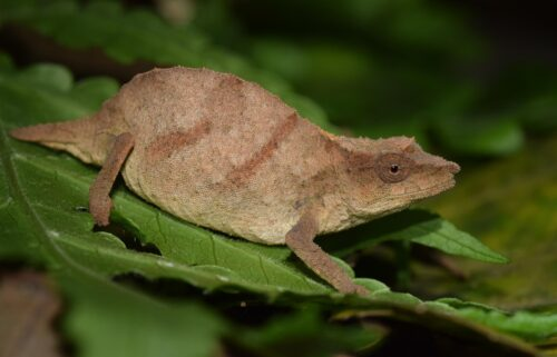 Chapman's pygmy chameleons walk atop and blend in with dead leaves on the forest floor