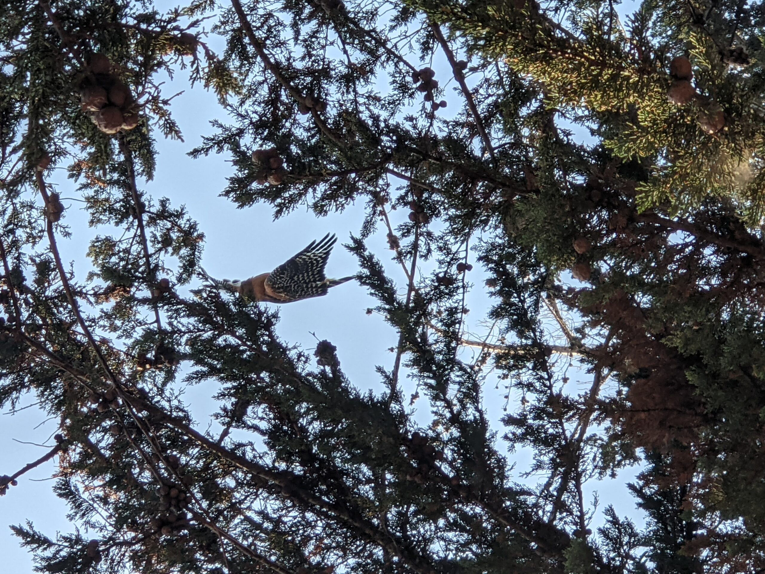 Red Shouldered Hawk was found entangled in fishing line and hanging from her wing between two tall trees above a walking path in Salinas.